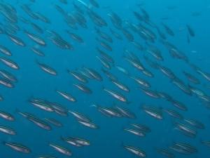 小呂島魚影