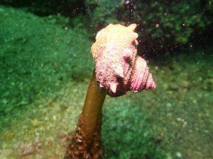 サザエ海藻くらう