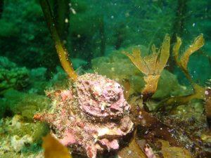 海藻つきサザエ