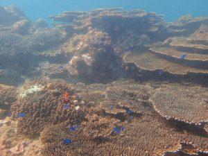 天草サンゴ2