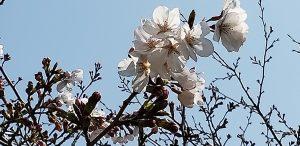 3.26 熊本開花